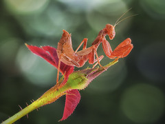 Ameles Rojita. (Jesus Tejon) Tags: ameles mantis olympus macro macrofotografia naturaleza nature