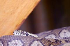A coastal carpet python (angie31133) Tags: animalphotography animals naturephotography nature wildlifephotography wildlife snakes reptile
