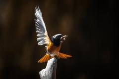 Oiseau A10 Dg1 Rd1 IMG_6385 (thierrybarre) Tags: oiseau rougequeue passereau nature wildlife ornithologie portrait closeup
