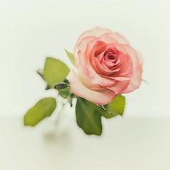 The Rose (Panasonikon) Tags: panasonikon sonya7 lensbaby sweet35 rose highkey schärfentiefe flower fineart quadrat square