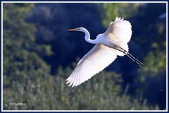 Grande aigrette 190914-01-P (paul.vetter) Tags: oiseau ornithologie ornithology faune animal bird échassier grandeaigrette aigrette ardeaalba greategret silberreiher casmerodiusalbus garçabrancagrande