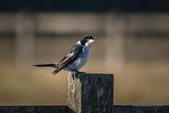 Grey Butcherbird... (Beckett_1066) Tags: dam birds hawkesbury butcherbird greybutcherbird fence rural