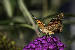 Schmetterling / Butterfly (Deepmike70) Tags: nature wildlife animal insect butterfly flower leaf closeup macro