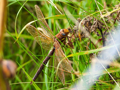 Brown Hawker (Pendlelives) Tags: uk brown color colour nature animals insect countryside wings nikon colours dragonfly vibrant background wildlife clarity nelson reservoir upper land landed hawker vibrance colne pendle p1000 foulridge pendlelives species british