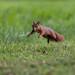 Squirrel airborne #2