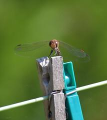 Face à face avec la bête ! (olafleflibustier) Tags: nikond5 sigma70300mmapodg macro libellule dragonfly