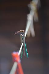 une libellule qui sèche... (olafleflibustier) Tags: sigma70300mmapodg libellule dragonfly nikond5 macro