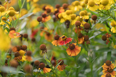 The warm glow of early Autumn (hehaden) Tags: flowers yellow red orange helenium garden sussexprairies sussexprairiegarden henfield sussex