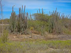 Die Palmen von Curacao (Seahorse-Cologne) Tags: curacao karibik portomarie williwood kakteen