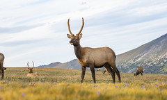 Future King (agnish.dey) Tags: wildlife wilderness bullelk deer elk antlers alpinetundra rockymountains rockymountainnationalpark rmnp sky nature naturallight naturephotograph nikon naturethroughthelens nationalpark animalplanet d500 coth colorado mountins