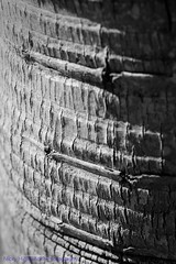 Texture 09 (Nicky Highlander Photography) Tags: barbados caribbean westindies saintpeter polomar gardens backyard abstract pattern outdoors outsidethebox blackandwhite monochrome fineart series barbadosphotographicsociety fieldtrip flora tropical trees plants tree trunk texture light naturallight nature photoessay photojournalism lifestyle editorial barbadian videographer