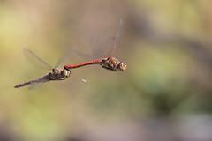 Libellule (Marcello Giardinazzo) Tags: libellule natura wild insetti macro
