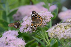 Skipper and Buckeye butterfly (Michele Dorsey Walfred) Tags: butterfly buckeye skipper september sedum pollinator pollination wings nature insect
