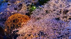 FAI_3802 (FAIWU) Tags: 日本 japan 九州 kyushu 福岡 fukuoka 桜 cherryblossoms 櫻花 sakura spring 春 福岡城 舞鶴公園 fukuokacastle maidurupark 夜櫻 夜桜 nightview