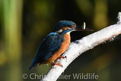 Wildlife (65) Kingfisher at Lackford Lakes (Collierhousehold_Motorsport) Tags: wildlife muntjac deer butterfly kingfisher lackford lakes muntjacdeer redadmiralbutterfly littleegret lackfordlakes