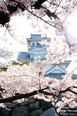FAI_5344 (FAIWU) Tags: 日本 japan 近畿 滋賀 shiga 桜 cherryblossoms 櫻花 sakura spring 春 長濱城 長浜城 豐公園 yutakapark nagahamacastle