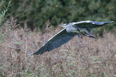 Grey Heron (Gareth Keevil) Tags: autumn bird detail feather garethkeevil greyheron heron inflight lancashire mudlark nikon nikon500mm nikond500 north rspb rspbleightonmoss reedbed telephoto uk wild