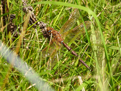 Brown Hawker (Pendlelives) Tags: upper foulridge reservoir colne nelson pendle brown hawker dragonfly wings insect land landed nature wildlife countryside pendlelives nikon p1000 clarity vibrant vibrance background animals colours colour color uk british species