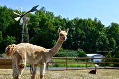 Aug 22 making new friends (Basildon Kitchens) Tags: princeedwardcounty summer alpacas gardencentre