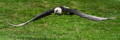 Gypaète barbu en vol (christian.rey) Tags: gypaètebarbu gypaète gypaetusbarbatus aiglesduléman sony alpha a7r2 a7rii 70200 oiseau vol bird fly theunforgettablepictures