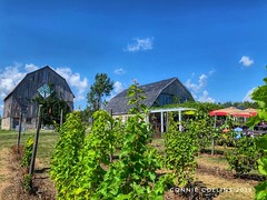 Aug 20 The Cider Company (Basildon Kitchens) Tags: princeedwardcounty summer thecidercompany vines barn restaurant