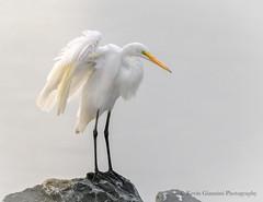 Great Egret (Kevin James54) Tags: ardeaalba greategret nikon500mmpff56 nikond850 wilmington animals avian bird egret fortfisher kevingianniniphotocom