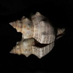 Reflection on black (Céline@LaRochelle) Tags: smileonsaturday reflectiononblack smile saturday reflection onblack shell