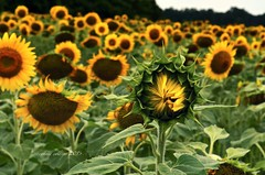Aug 24 late bloomer (Basildon Kitchens) Tags: princeedwardcounty summer sunflowers sunflowerfields