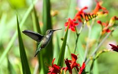 0P7A4965   Ruby-throated Hummingbird,  Canada (ashahmtl) Tags: rubythroatedhummingbird bird hummingbird archilochuscolubris ourbackyard pointeclaire quebec canada