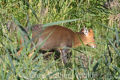 Wildlife (68) Muntjac Deer at Lackford Lakes (Collierhousehold_Motorsport) Tags: wildlife muntjac deer butterfly kingfisher lackford lakes muntjacdeer redadmiralbutterfly littleegret lackfordlakes