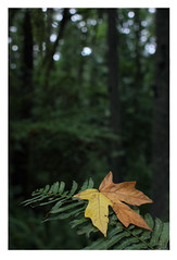 In Forest Park (4) (Robert Drozda) Tags: portland oregon forestpark woods forest fern frond maple leaf digital canon linntontrail firelane10 drozda