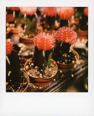 Moon Cactus (tobysx70) Tags: california ca red cactus moon plant color film cacti ball polaroid la succulent los angeles farmers market south originals cap american 600 hollywood instant ivar ruby avenue slr680 hibotan toby green photography hancock cactaceae gymnocalycium mihanovichii bokeh