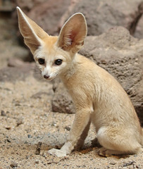 fennec artis 094A0001 (j.a.kok) Tags: animal artis mammal zoogdier dier vos fox fennek fennec fennecfoxfennecuszerdavulpeszerdavulpes predator