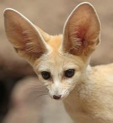 fennec artis 094A0029 (j.a.kok) Tags: animal artis mammal zoogdier dier vos fox fennek fennec fennecfoxfennecuszerdavulpeszerdavulpes predator