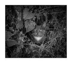 chat No-Man's-Landaise (Armin Fuchs) Tags: arminfuchs nomansland chat cat 6x7 niftyfifty animal hedge anonymousvisitor thomaslistl wolfiwolf jazzinbaggies