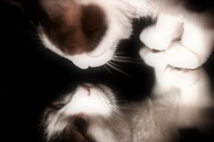 Reflection on black Smile on saturday (Céline@LaRochelle) Tags: reflection black cat mirror animal on riflessi