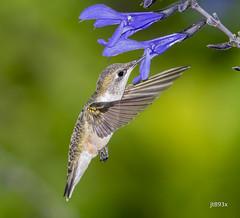 Ruby-throated Hummingbird (jt893x) Tags: 150600mm archilochuscolubris bif bird d500 female hummingbird jt893x nikon nikond500 rubythroatedhummingbird sigma sigma150600mmf563dgoshsms