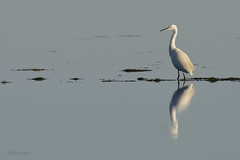 Little egret (marcomes) Tags: heron bird littleegret