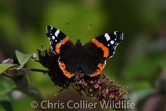 Wildlife (69) Red Admiral Butterfly at Lackford Lakes (Collierhousehold_Motorsport) Tags: wildlife muntjac deer butterfly kingfisher lackford lakes muntjacdeer redadmiralbutterfly littleegret lackfordlakes