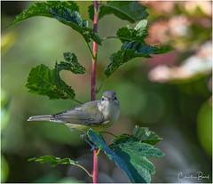 Warbling Vireo (Summerside90) Tags: birds birdwatcher warblingvireo september summer fallmigration backyard garden nature wildlife ontario canada