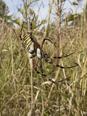 Wasp Spider (JaneTurner68) Tags: waspspider spider insect grass hadleigh suffolk canonsx70 canon