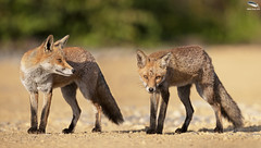 A Pair Of Urban Foxes (Mick Erwin) Tags: pair vixen dog vulpes urban red fox nikon afs 600mm f4e fl ed vr lens d850 mick erwin stoke trent staffordshire wildlife nature