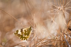 Gréoux Papillon Aurore (valcie) Tags: papillon aurore bokeh lumière