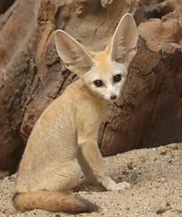 fennec artis 094A0020 (j.a.kok) Tags: animal artis mammal zoogdier dier vos fox fennek fennec fennecfoxfennecuszerdavulpeszerdavulpes predator