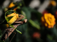 What'd you say? (WAHLBRINKPhoto) Tags: animal arthropod insect prayingmantis