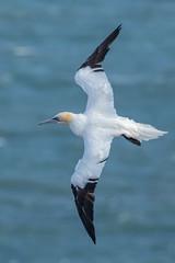 gannet (colin 1957) Tags: bempton gannet