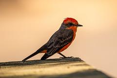 Vermilion flycatcher on a garden wall (Stephen G Nelson) Tags: bird flycatcher vermilionflycatcher desert garden tucson arizona