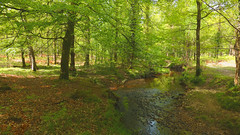 New Forest NP, Hampshire, UK (east med wanderer) Tags: england hampshire lyndhurst newforestnationalpark nationalpark stream water highlandwater oak beech