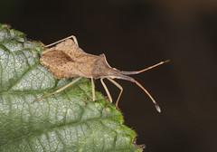 Rhombic Leatherbug - Syromastus rhombeus (Prank F) Tags: rspb thelodge sandy bedfordshireuk wildlife nature insect macro closeup bug squashbug leatherbug rhombic syromastusrhombeus
