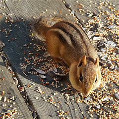 Chipmunk on the Deck (scilit) Tags: chipmunk animal wildlife seeds sunflowerseeds wood deck summer food grain square 500x500 nature alittlebeauty fantasticnature coth coth5